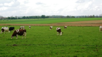 La hausse des effectifs de vaches laitières ne sera pas encore suffisante pour que la France réalise son quota.