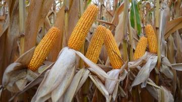 Objectif performance en grain comme en fourrage