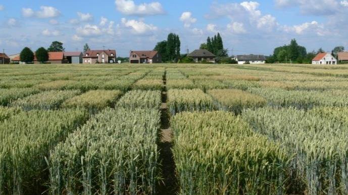 Parcelle de sélection de blé.