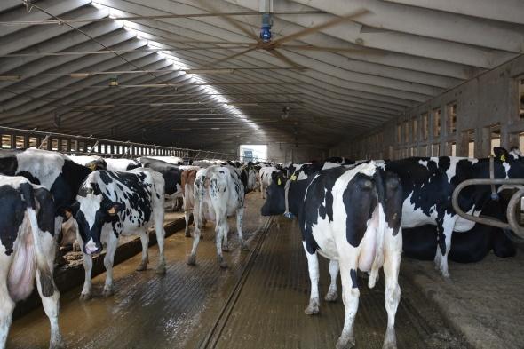 Malgré la ventilation, les vaches souffrent de la chaleur dans ces bâtiment à petit volume.