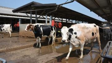 V�lage � 21 mois et ration calibr�e pour les 400 vaches de l'Azienda Martinengo