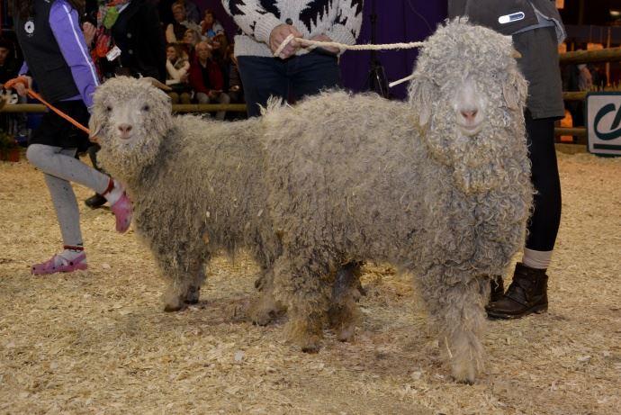 Chèvres Angora élevées pour leur Mohair tondu deux fois par an.