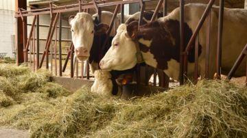 Choisir du foin fibreux et appétent pour les laitières
