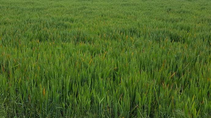 JNO sur blé