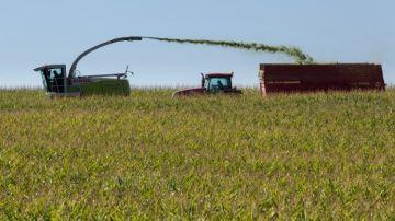 1/3 des maïsiculteurs ensilent des parcelles destinées à la récolte en grain
