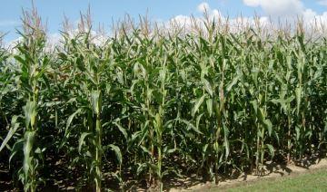 Les résultats 2016 des variétés de maïs fourrage