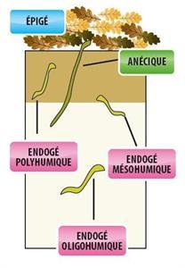 Les trois catégories de vers de terre