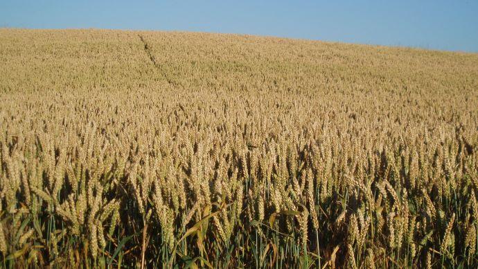 Matières premières - Ces traders qui vendent le blé français à l'étranger