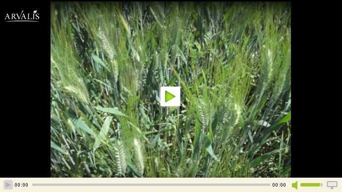 Vidéo arvalis sur les couverts permanents