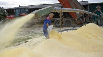 Chantier de broyage des grains de maïs en ue d'être conservé en silo d'ensilage