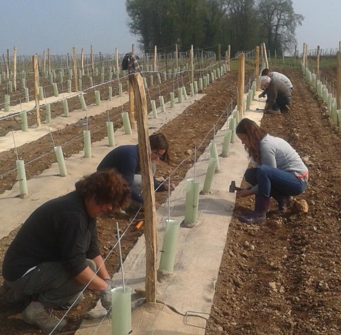 Viticulture oenologie viticulture des feutres - Feutre de paillage ...