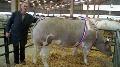 Concours d'animaux de boucherie - A Rouen - Un concentr� de championnes