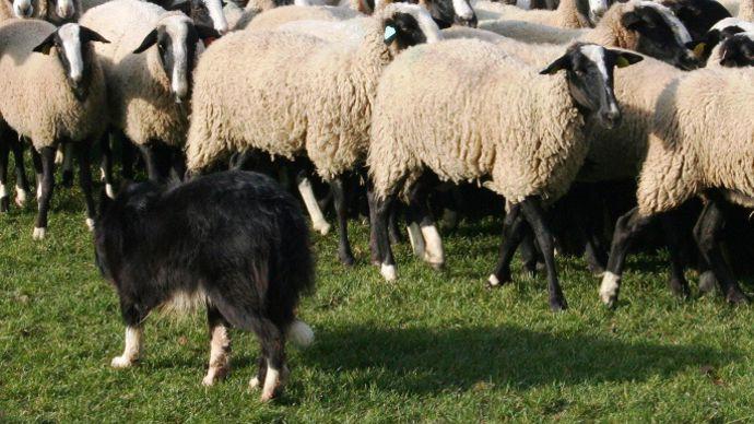 La nouvelle réforme de la Pac tente de relancer la filière ovine en souffrance depuis plus de 30 ans.