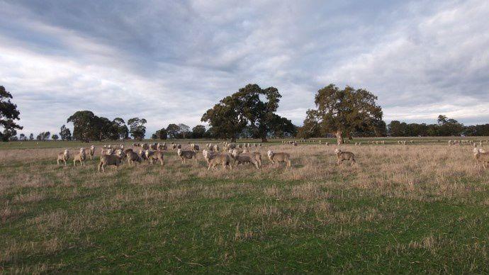 Elevage ovin en Australie