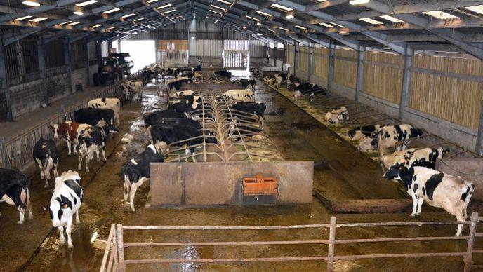 Bâtiment vaches laitière logette matelas
