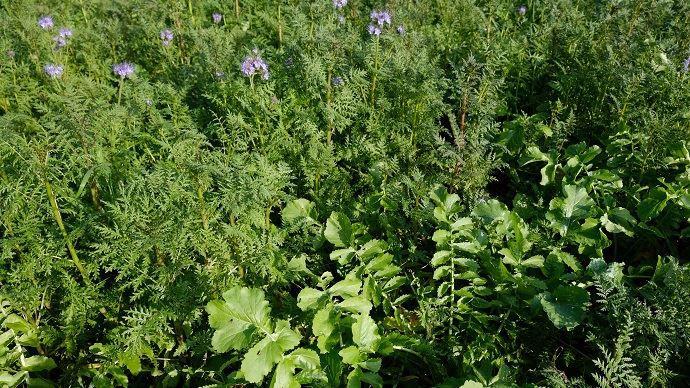 La phacélie, plante mellifère, est la valeur sûre des couverts destinés à nourrir le sol: on la retrouve dans toutes les compositions testées par Eilyps sur sa plateforme (ici avec du radis chinois).