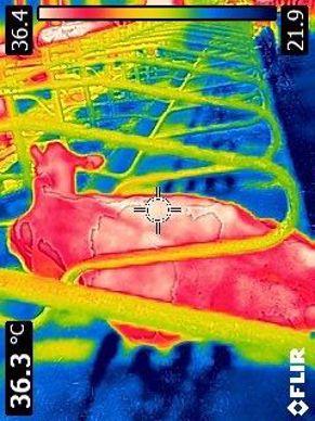 À l'aide d'une caméra thermique, on aperçoit la fraicheur des matelas à eau versus la chaleur de l'animal et de son environnement (36,4°C pour la zone la plus chaude contre 21,9°C au niveau des canules dans le matelas).