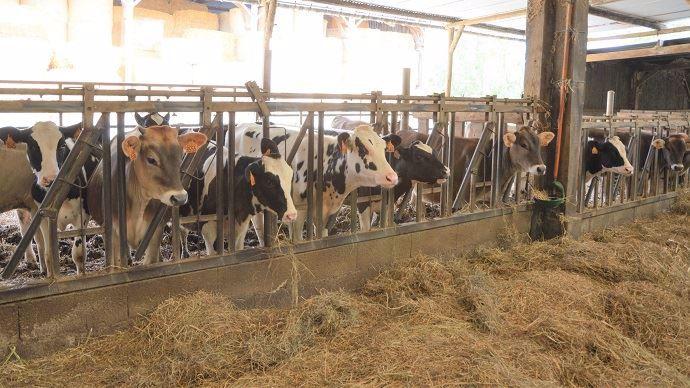 Génisses laitières à l'auge