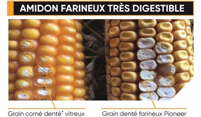 Amidon farineux très digestible