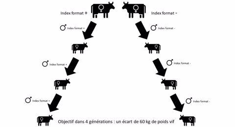 Croisement génétique en bovin lait