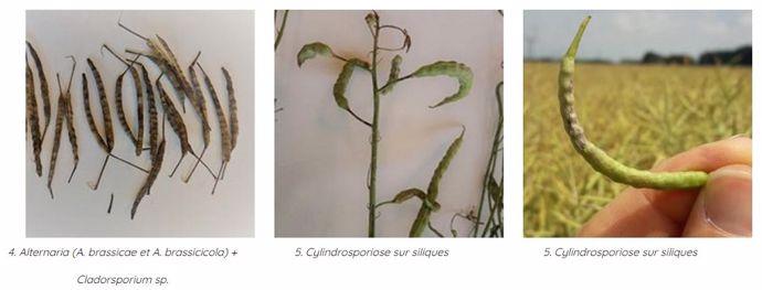 Symptômes sur siliques de colza