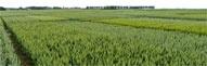 Retour au dossier spécial variétés de céréales de Terre-net.