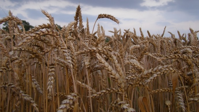 récolte de céréales à paille