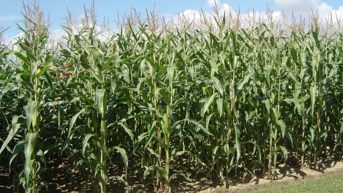 Conditions climatiques quasi idéales sur la Corn Belt aux Etats-Unis