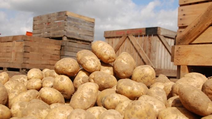 Pommes de terre à la récolte