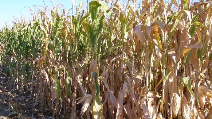 Les surfaces de maïs en baisse en Argentine et au Brésil.