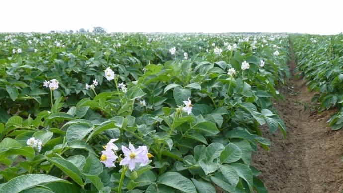 Pommes de terre féculières