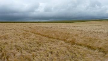 Premiers résultats d'essais disponibles pour les variétés d'orge et de blé (màj)