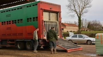Des milliers de bovins bloqués en France à cause de la fièvre catarrhale
