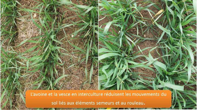 L'avoine et la Vesce stabilise le sol en interculture.
