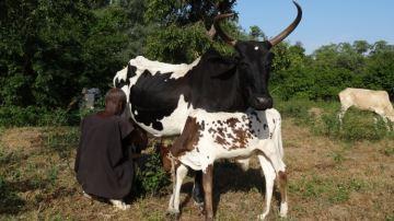 Les b½ufs, la banque des bergers peuls du Burkina Faso