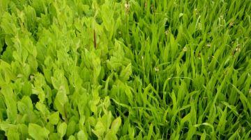 Chicorée et plantain, des espèces de pâturage aux nombreux atouts