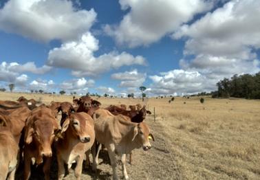 Bovins viande dans les plaines australiennes