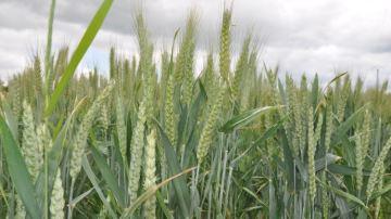 Des céréales immatures dans les rations pour faire face au manque de fourrage