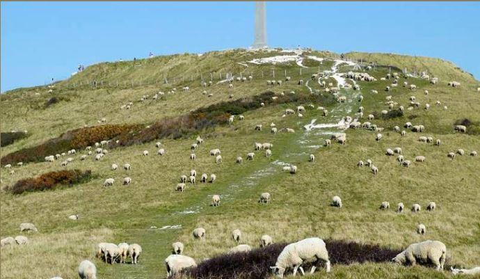 Moutons Boulonnais pâturant sur les caps de la Côte d'Opale