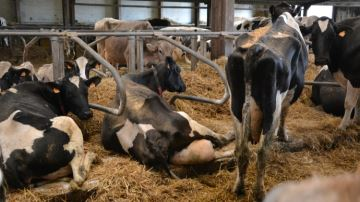 Mesurer le taux d'énergiemétabolique (TEM) du lait pour prévenir les déficits