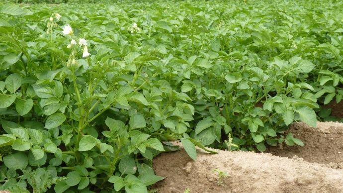 Cultures de pommes de terre