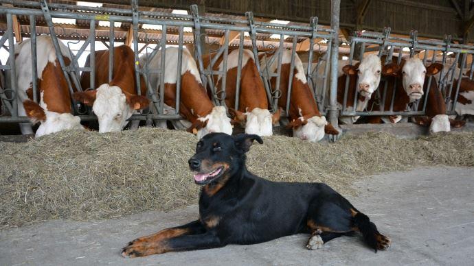 Chien beauceron troupeau de vaches montébliardes