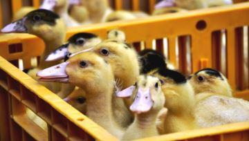 Fin de l'épidémie, et nouveau départ pour la filière palmipède à foie gras