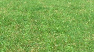 Le trèfle blanc: véritable moteur des prairies