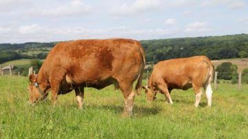 Les colliers Heatime s'adaptent aux vaches allaitantes