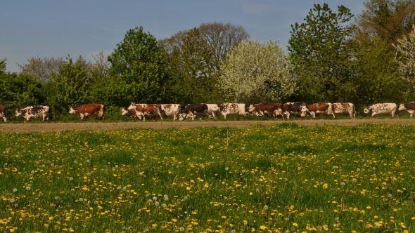 Pâturage des vaches normandes