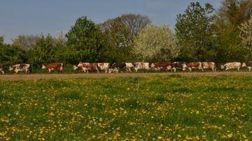 83,7% des éleveurs laitiers font pâturer leurs vaches