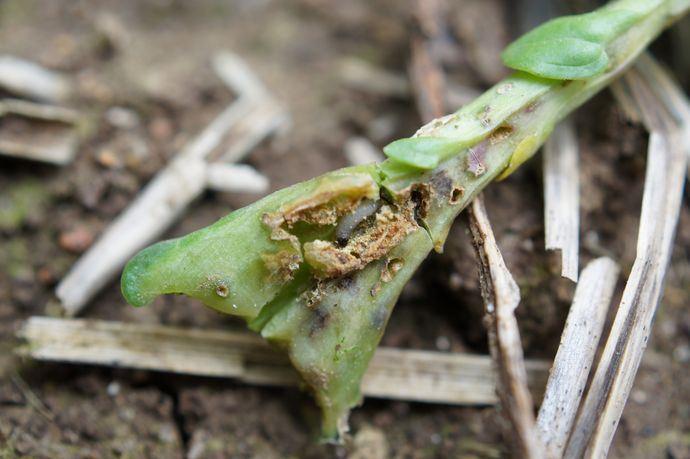 Les attaques d'altises à l'automne peuvent très fortement endommager le colza. Les variétés vigoureuses au départ constituent une stratégie d'évitement efficace. Découvrez-en plus sur les Hybrides DEKALB Installation Rapide.