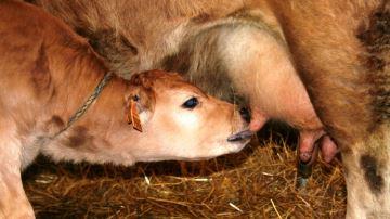 43,3% des éleveurs laitiers ont recours aux antibiotiques