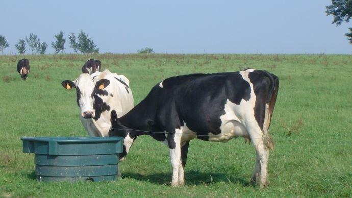 vaches au paturage devant un abreuvoir